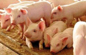 Поросята породы свиней ландрас