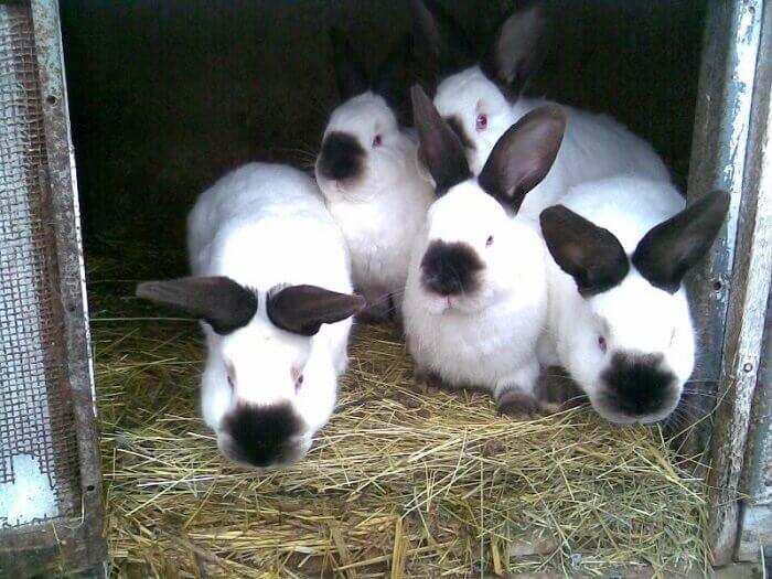 калифорнийский кролик описание породы отзывы