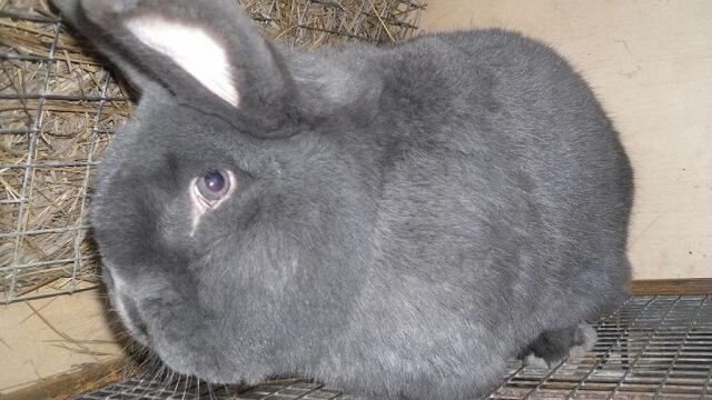 Серо голубой венский кролик