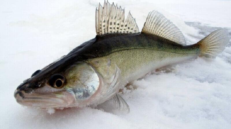 Судак рыба: хозяйственное значение и особенности товарного выращивания