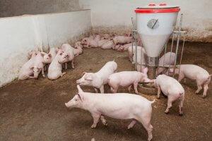 Разведение белых свиней ландрас