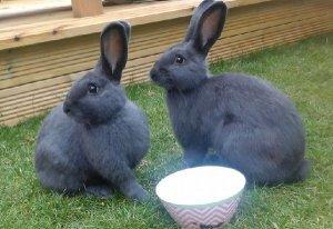 Двое венских голубых кроликов