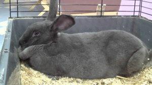 Характеристика венского голубого кролика