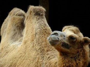 Верблюд бактриан