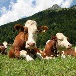 Крымская животноводческая отрасль нуждается в развитии племенного дела