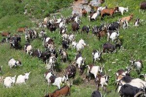 Альпийские козы для молока на выпасе