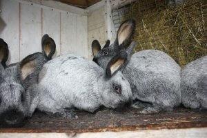 Разведение кроликов шиншилла в домашних условиях