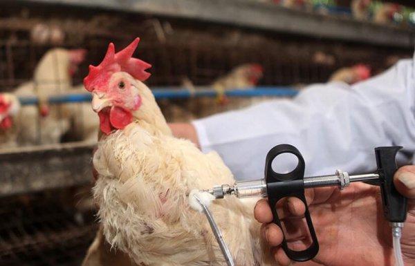 В Вологодской области принят комплекс мер по гндопущению заноса вируса птичьего гриппа
