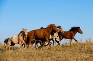 Казахская порода лошади джабе