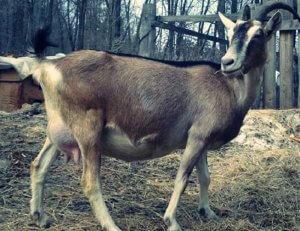 Содержание козы альпийской породы дома