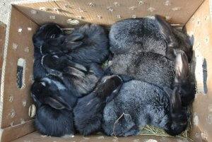 Маленькие крольчата серебристой породы