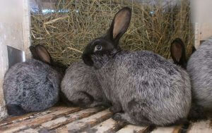 Разведение кроликов серебристых