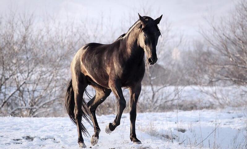 Карачаевская лошадь: преимущества и недостатки содержания
