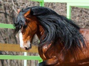 Голова лошади породы владимирский тяжеловоз
