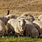 Успехи в развитии племенного овцеводства и козоводства – гордость отечественного АПК