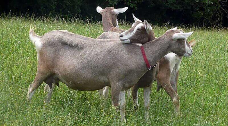 Где в россии разводят тоггенбургских коз Диаспар