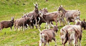 Разведение тоггенбургской породы коз