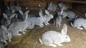 Содержание кроликов породы шиншилла