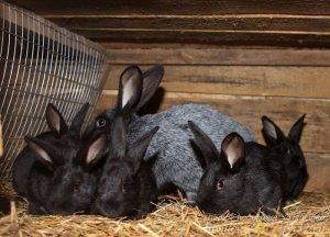 Кролик серебристый с крольчатами
