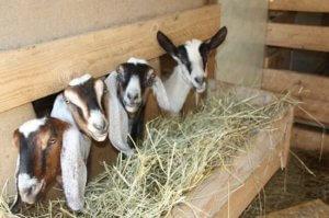Кормление коз породы тоггенбургска