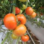Тепличное хозяйство «ЛипецкАгро» увеличивает свои мощности