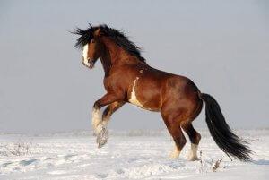Лошадь породы владимирский тяжеловоз