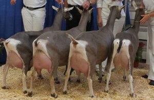 Преимущества тоггенбургской породы коз
