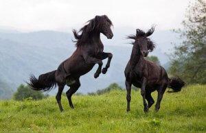 Два карачаевских жеребца