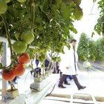 В Ставропольском крае тепличные хозяйства расширяют свои площади