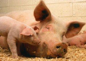 Разведение свиней крупной белой породы