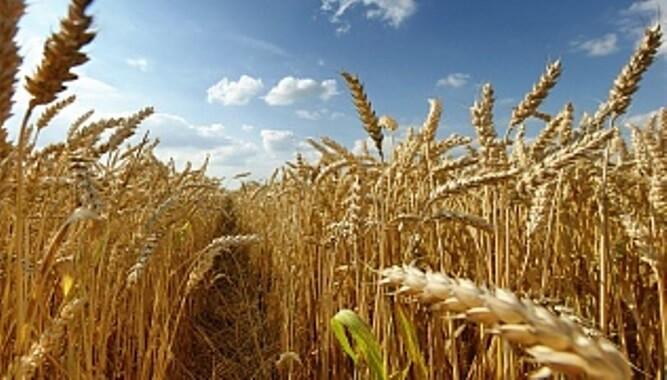 Тюменские ученые ищут сорта сои для выращивания на севере