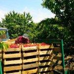 В Крыму начался сбор урожая черешни