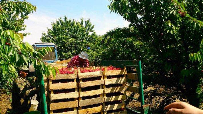 В Крыму начали собирать первый урожай черешни
