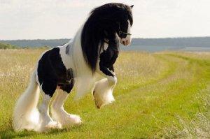 Красивая лошадь цыганской породы