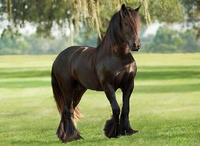 Цыганские лошади: условия содержания и перспективы разведения