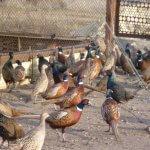 Фермер в Липецкой области организовал фазанью ферму