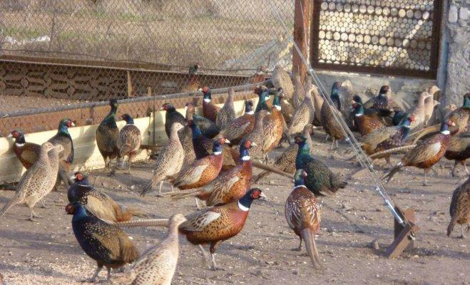 В Липецкой области работате фазанья ферма