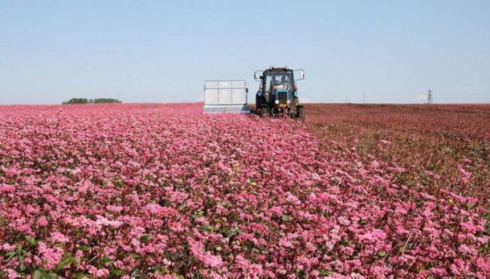 Алтайцы увеличивают посевы гречихи