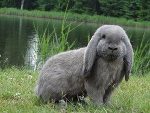 Содержание кроликов породы баран