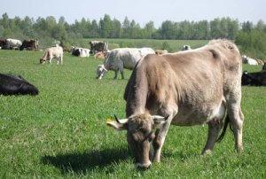 Кормление костромской породы коров