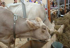 Ферма коров костромской породы