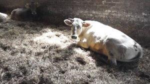 Костромская корова в хлеву