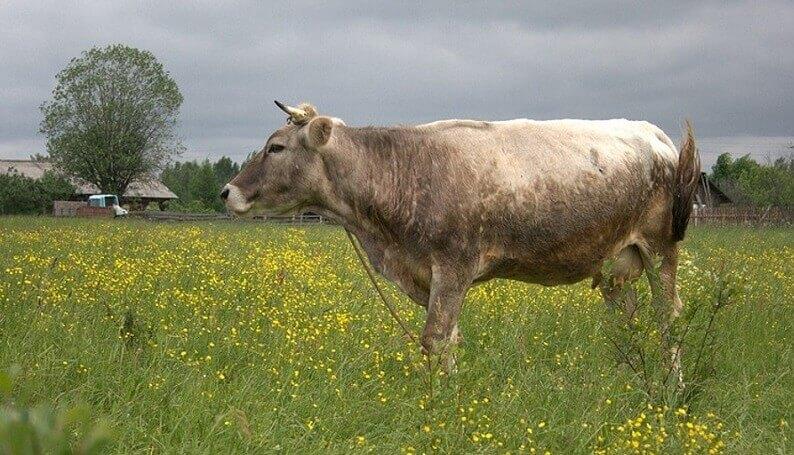 Костромская корова: преимущества и недостатки разведения