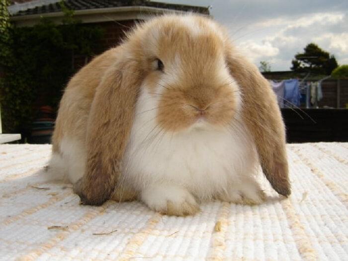вислоухие кролики бараны содержание