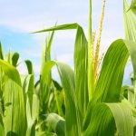 На Сахалине кукурузы будут выращивать в два раза больше против прежних объемов