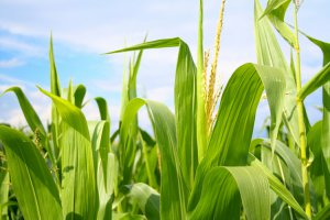 На Сахалине осваивают новую кормовую культуру - кукурузу