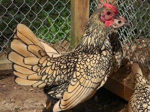 Курица виандот золотой