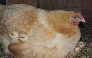 Курица породы орпингтон с цыплятами