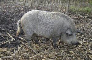 Порода свиньи мангал