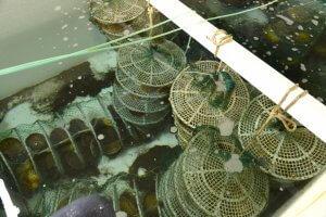 В хабаоровском крае будут выращивать трепангов и морских гребешков